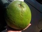 Diarista fotografa laranja gigante de 1,6 kg colhida em Laranjeiras do Sul