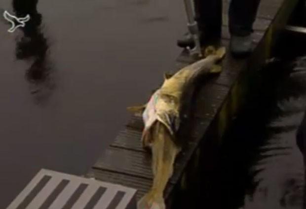 Peixe morreu sufocado ao tentar devorar um outro peixe quase do mesmo tamanho (Foto: Reprodução)