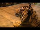 Equipe remove tigres em meio a inundações na Europa