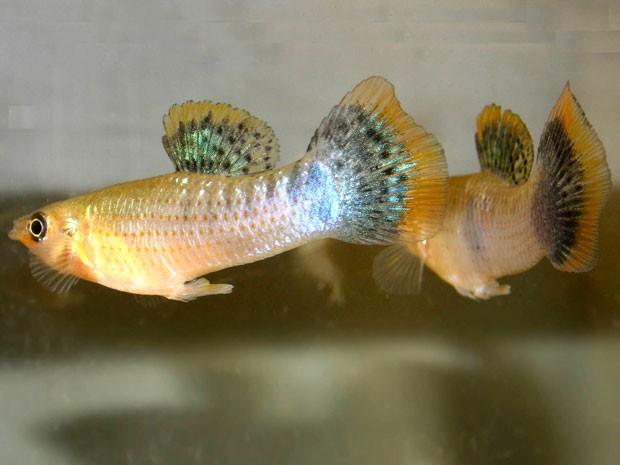 Relação entre dois machos da espécie 'Poecilia mexicana' (Foto: David Bierbach/via BBC)