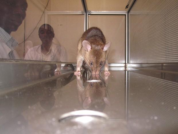 Rato mantém focinho dentro de buraco por três segundos para indicar que detectou uma amostra com tuberculose (Foto: Apopo/Divulgação)