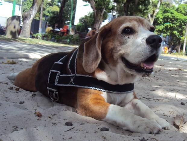 O beagle Dick e todos os outros cachorros estão proibidos de circular em praças públicas do município. (Foto: Thais Rezende/ G1 PA)