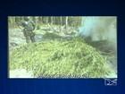 Operação do Grupo Tático Aéreo destrói mais de cem pés de maconha