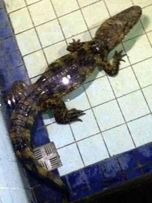 Depois de retirado do poço, jacaré foi levado para uma piscina  (Foto: Thiago Aragão/G1)