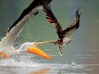 Veja pelicano tentando roubar peixe de águia e outros 'ladrões de refeição'