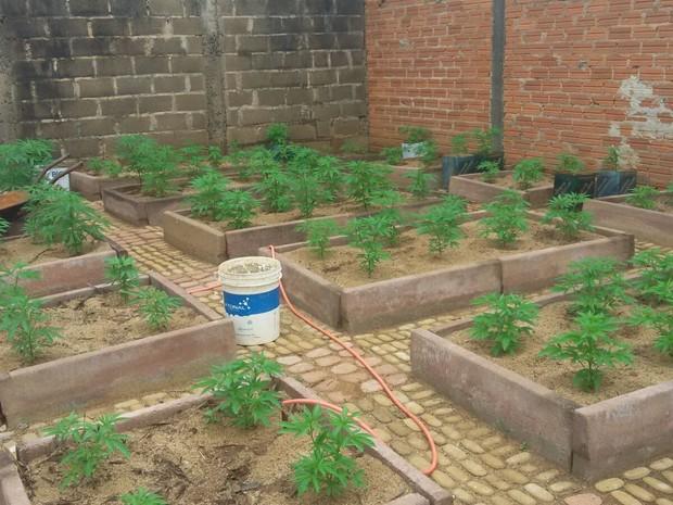 Plantação de maconha foi encontrada em Franca, SP (Foto: Divulgação/Dise)