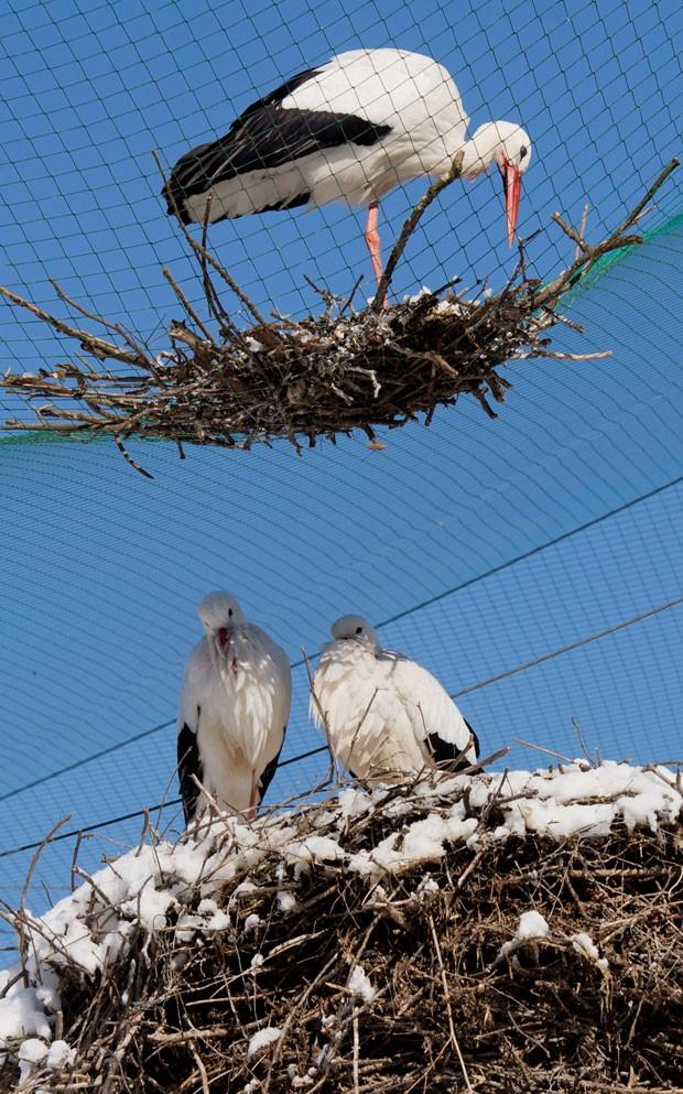 Ave teria construído ninho para ter companhia de outras cegonhas (Foto: Julian Stratenschulte/AP)