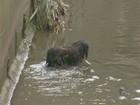 Vídeo: cachorro é resgatado em rio que transbordou em Campinas, SP