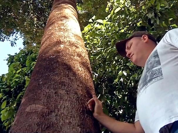 Pesquisas científica comprovam que o extrato da casca de Jatobá como antidepressivo e ansiolítico (Foto: Globo)