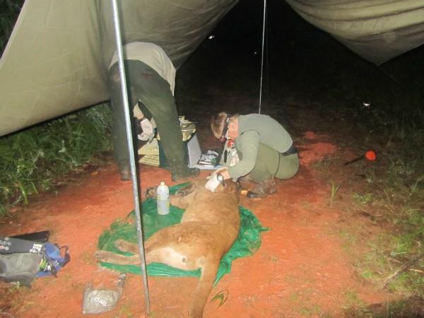 Série acompanha o monitoramento de pumas em parque próximo a Blumenau (Foto: Projeto Carnívoros/Divulgação)