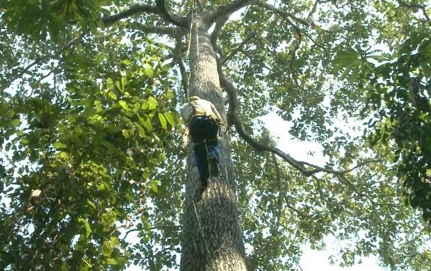 Escalada em árvores servirá como novo método de coleta de sementes para pesquisas e estudos florestais (Foto: Jornal do Acre)