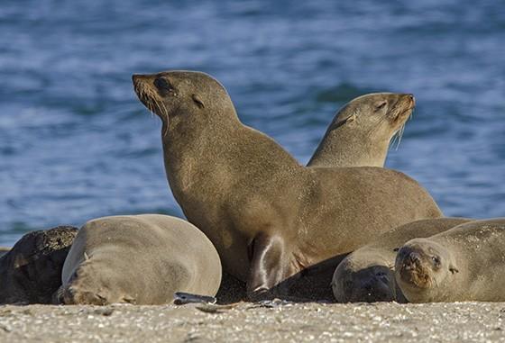 Lobos-marinhos vivem em 26 diferentes colônias distribuídas pelo litoral da Costa do Esqueleto (Foto: © Haroldo Castro/ÉPOCA)