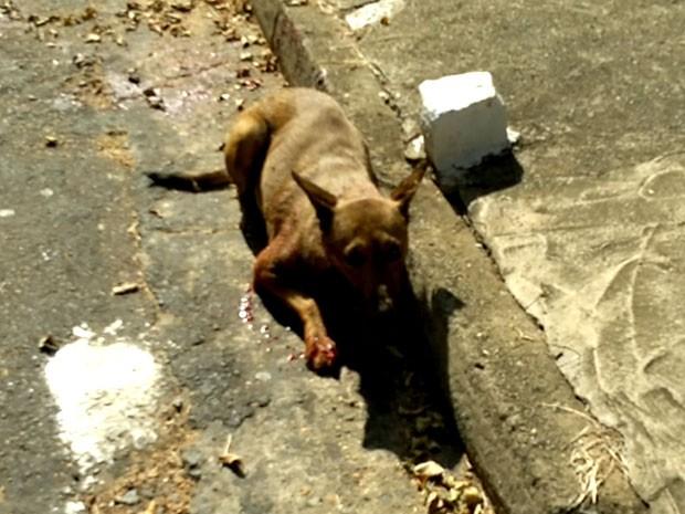 Vídeo mostra cadela ferida por bomba em rua de Campinas,SP (Foto: Fábio Pastore/ Vc no G1)