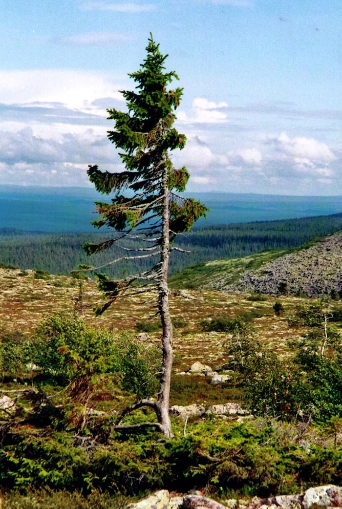 tjikko (Foto: Karl Brodowsky)