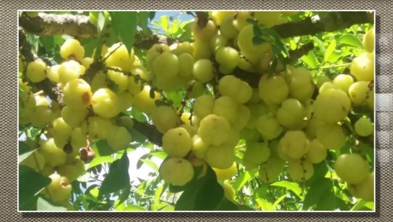 groselha-fruto-Tv (Foto: Reprodução/TV Globo)