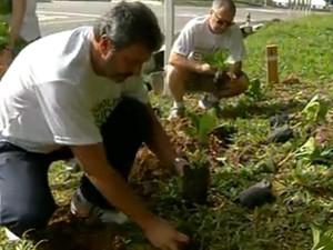 4.500 mudas de hortênsia foram plantadas na cidade (Foto: Delcio Stanizio/InterTV)