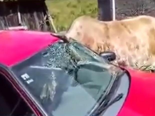 Boi ficou com a cabeça presa em janela em Lauro Muller (Foto: Reprodução/RBS TV)