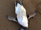 Pinguim é encontrado morto na Praia de Tabuba, Litoral Norte de Alagoas