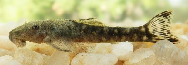 Paratocinclus seridoensis é encontrado no Rio Grande do Norte e na Paraíba (Foto: Reprodução/Neotropical Ichtyology)