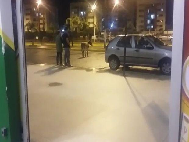 Jumento entrou pela porta e foi colocado para fora no mesmo instante (Foto: Íris Sá/VC na TV Sergipe)