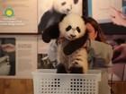 Panda Bei Bei é apresentado oficialmente pelo zoo de Washington
