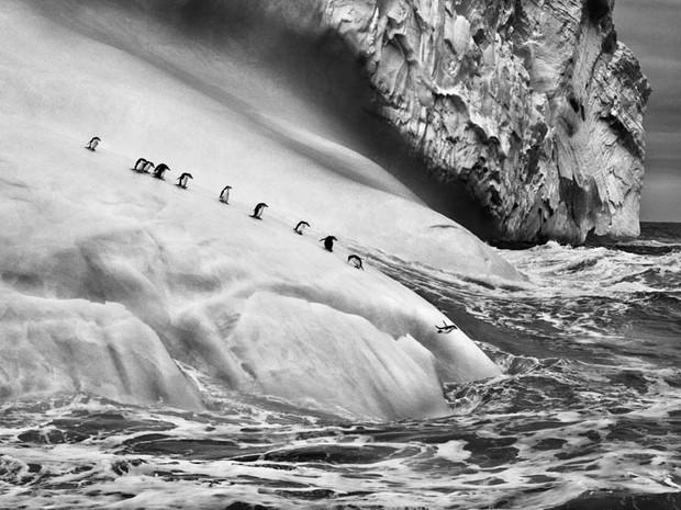 Pinguins-de-barbicha (Pygoscelis antarctica ) sobre icebergs  localizados entre as ilhas Zavodovski e Visokoi. Ilhas Sandwich do Sul. (Foto: Sebastião Salgado/Divulgação)