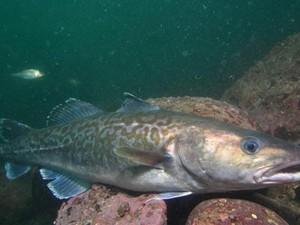 bacalhau (Foto: Divulgação/Sukgeun Jung/Fishbase)