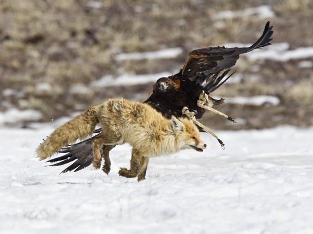 Águia caça raposa em torneio no Cazaquistão (Foto: Reuters/Shamil Zhumatov)
