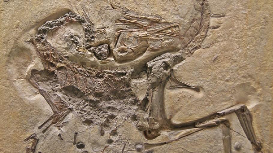 Registro do dinossauro 'Compsognathus longipes' (Foto: Divulgação)