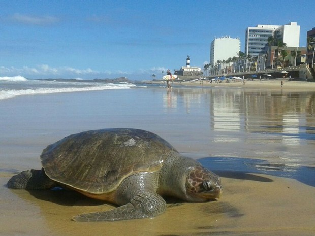 Tartaruga foi encontrada morta no mar da Barra, em Salvador (Foto: Lucas Vieira / Arquivo Pessoal)