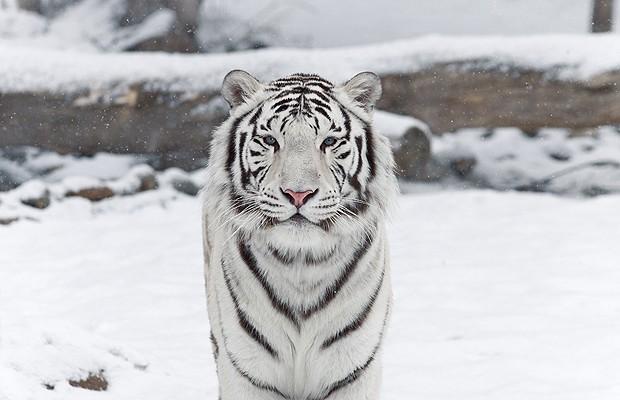 Tigre branco: a variante branca do tigre-de-bengala é muito rara. Não se trata de nenhuma doença. Eles são brancos, com listras marrons e olhos azuis (Foto: Shutterstock)
