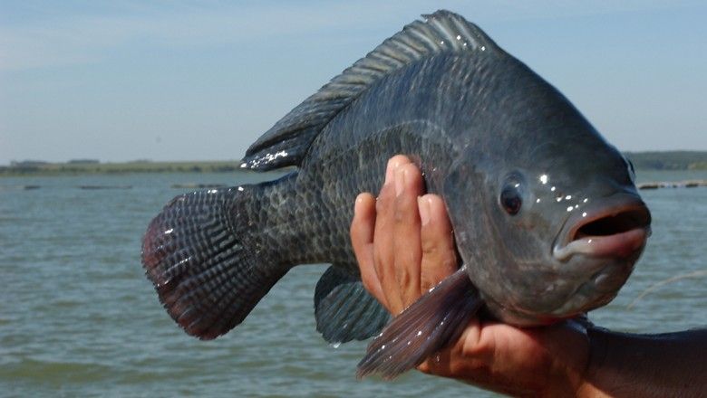 peixe_tilapia (Foto: Ernesto de Souza/Ed. Globo)