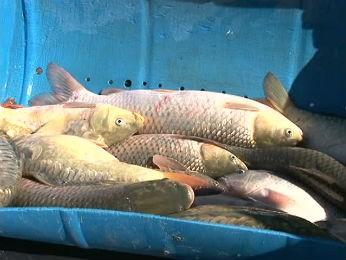 Feira do Peixe Vivo presente vender 5 mil quilos de peixe em Guarapuava  (Foto: Reprodução / RPC TV)