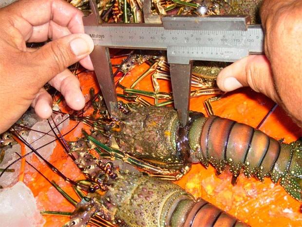 'Lagosta Vermelha' e 'Cabo Verde' são as espécies mais encontradas no litoral potiguar (Foto: Divulgação/Ibama)