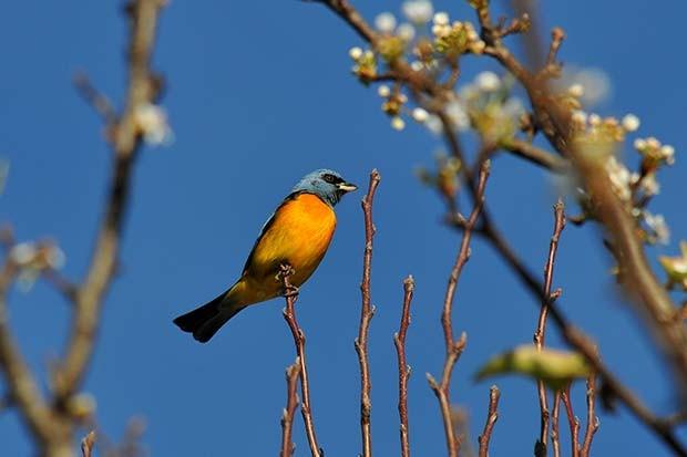 sanhaçu-papa-laranja (Pipraeidea bonariensis) (Foto: Rudimar Narciso Cipriani)