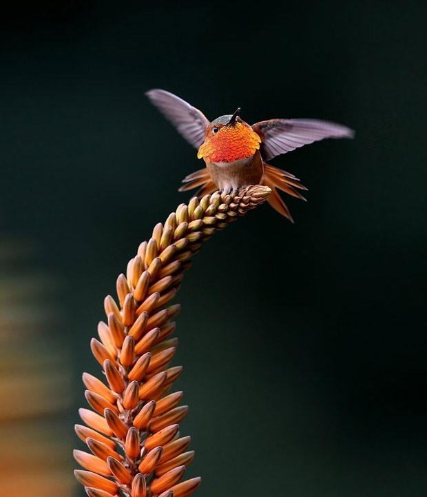 20 beija-flores (Foto: reprodução)