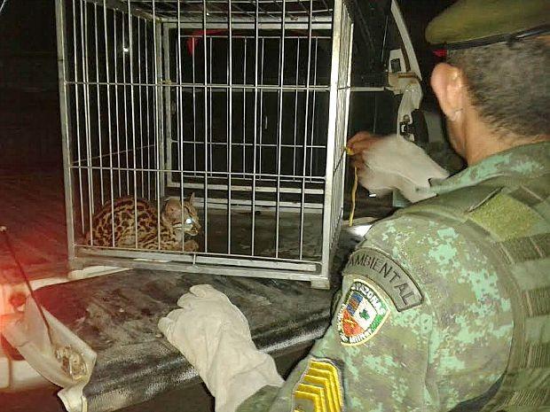 Batalhão Ambiental afirmou que animal corria risco de ser morto no local (Foto: Divulgação/Batalhão Ambiental)