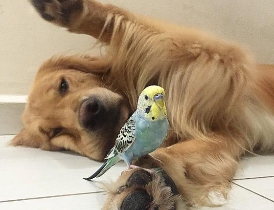 O amor entre um golden e um periquito (Foto: Reprodução/Instagram)