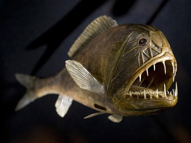 Peixe-ogro  é visto em exposição em Dresden, na Alemanha, em 2010 (Foto: Robert Michael/AFP)