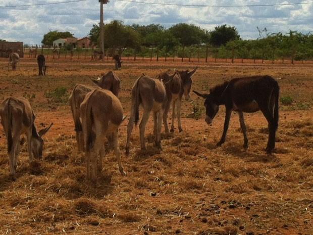 Jumentos apreendidos são levados para a Associação de Proteção aos Animais, no RN (Foto: Fernanda Zauli/G1)