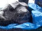 Tartaruga rara de 400 quilos é resgatada em praia de SP