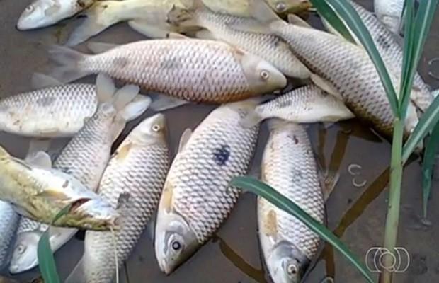 Centenas de peixes morreram ao longo do Rio dos Bois, em Goiás (Foto: Reprodução/TV Anhanguera)