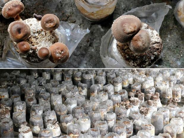 Produção de cogumelos em Petrópolis (Foto: Divulgação / Ricardo Fernandes)