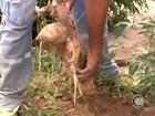 Mandiocultura reage no Sul do Piauí e safra deste ano anima os agricultores