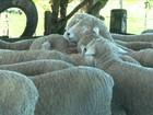 Começam os trabalhos de tosquia das ovelhas no RS