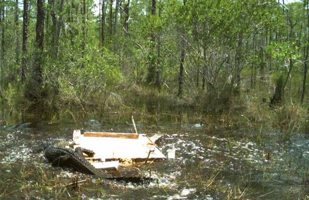Cena foi registrada em parque no sudoeste do estado da Flórida (EUA) (Foto: Reprodução/Facebook/Florida Fish and Wildlife Conservation Commission)