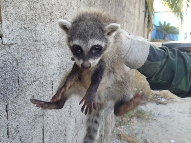 Guaxinim estava no quintal de uma casa próximo a um mangue, na Paraíba, segundo a PM Ambiental (Foto: Walter Paparazzo/G1)