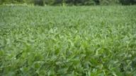 Produtores contam com condições climáticas para boa produção de soja