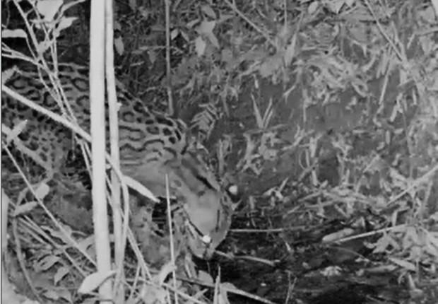 Flagrante da jaguatirica na reserva (Foto: Divulgação)