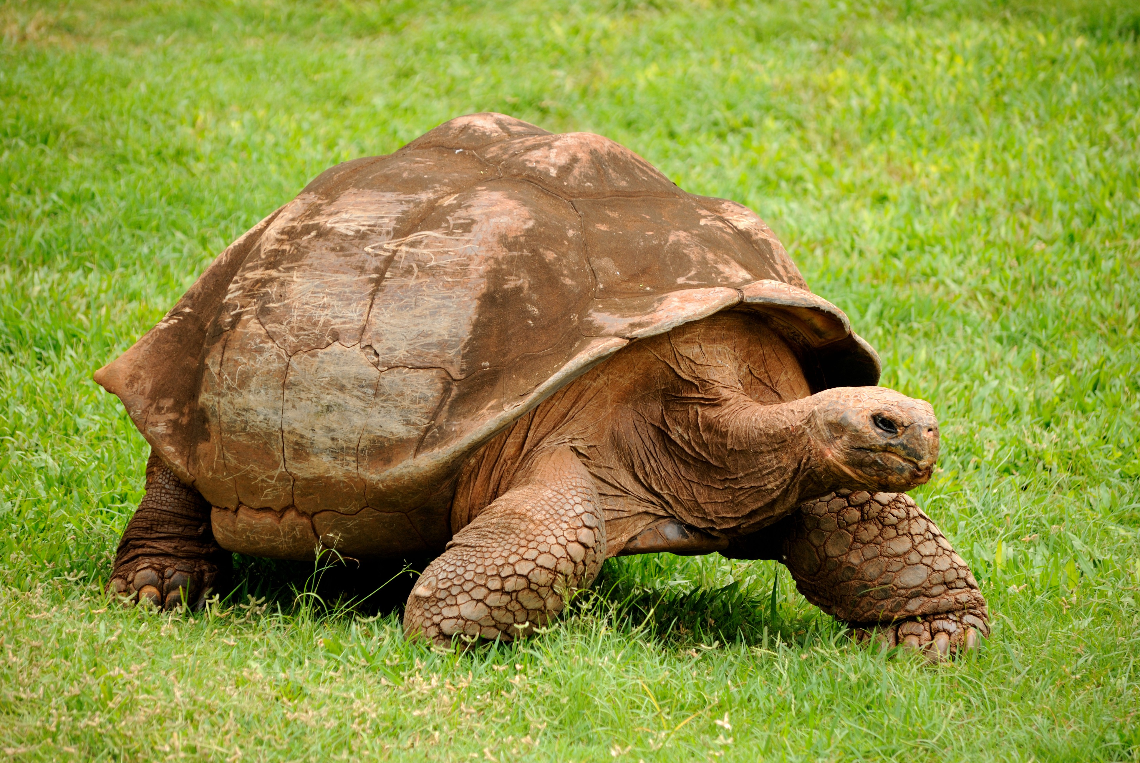 Tartaruga gigante de Galápagos (Foto: Daniel Ramirez/Wikimedia Commons)